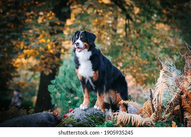 Stunning bernese mountaind dog female posing in beautiful autumn park. Autumn fall in the park.