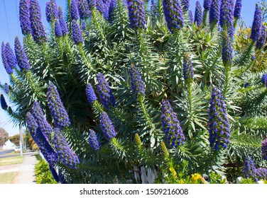 Stunning blue and pink spikes of echium fastuosum or Pride of Madeira open in early spring attracting bees to the home garden  with a brilliant purple blue display of dainty rosette petals.