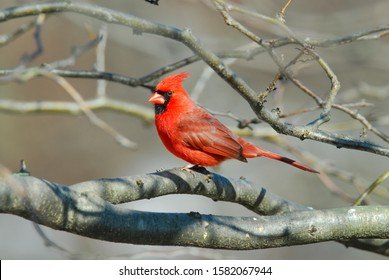 Stunning brilliant red male cardinal perched on a branch.