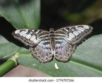 Stunning close up of a clipper butterfly in a garden.
