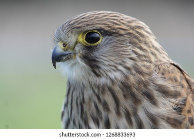 Stunning Close up of facial shot of solo single isolated Kestrel bird of prey with brown plumage feathers and yellow circle around the eye and top of sharp beak