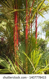 Stunning clumping red bamboo plant growing in tropical Darwin, Australia