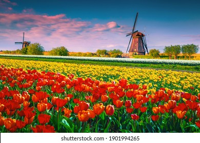 Stunning colorful tulip fields and old wooden windmills at sunrise in Kinderdijk, Netherlands, Europe