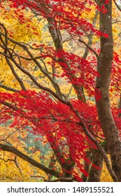 Stunning colorful vibrant red and yellow Japanese Maple trees in Autumn Fall forest woodland landscape detail in English countryside