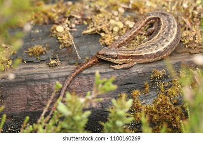 A stunning Common Lizard (Zootoca vivipara) warming on a log.
