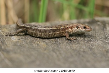 A stunning Common Lizard (Zootoca vivipara) hunting on a wooden boardwalk .