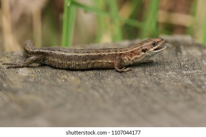 A stunning Common Lizard (Zootoca vivipara) hunting on a wooden boardwalk with its mouth open.