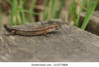 A stunning Common Lizard (Zootoca vivipara) hunting on a wooden boardwalk with its mouth open and tongue showing.