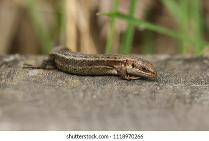 A stunning Common Lizard (Zootoca vivipara) hunting on a wooden boardwalk .