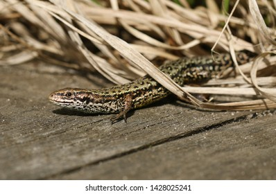 A stunning Common Lizard, Zootoca vivipara, hunting on a wooden boardwalk .