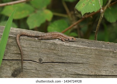 A stunning Common Lizard, Zootoca vivipara, warming up on a wooden fence.