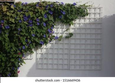 Stunning creeper Ipomoea purpurea, common morning-glory, tall morning-glory, purple morning glory on a white house wall