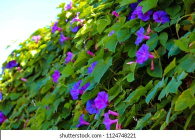 Stunning creeper Ipomoea purpurea, the Purple, Tall, or Common Morning Glory, a species in the genus Ipomoea with purple pink veined blooms is one of the glories of spring and summer.