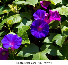 Stunning creeper Ipomoea purpurea, the Purple, Tall, or Common Morning Glory, a species in the genus Ipomoea with purple pink veined blooms is one of the glories of spring ,summer and autumn.