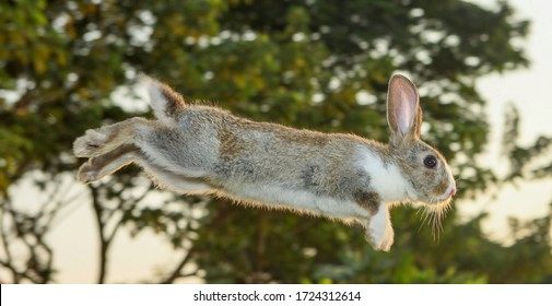 Stunning cute brown-white rabbit leaping jumping hopping in the garden.