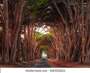 Stunning Cypress Tree Tunnel at Point Reyes National Seashore, California, United States. Fairytale trees are colored red by the light of the setting sun.