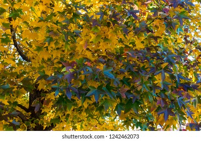 Stunning display of red, gold, and purples leaves on a Sweet Gum Maple in  November in Texas.