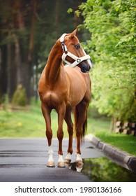 stunning dressage chestnut budyonny gelding horse in fluffy halter standing on asphalt road on trees background