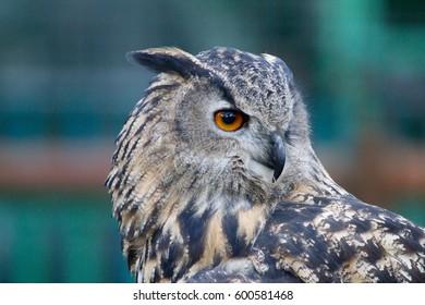 Stunning Eagle Owl
