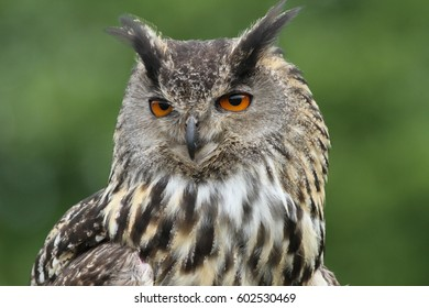STunning eyes of an Eagle Owl