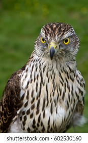Stunning eyes on this Sparrowhawk