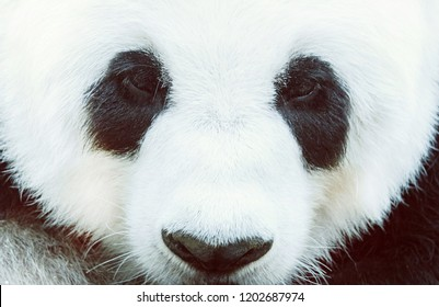 Stunning Face Giant Panda,Close up macro shot.