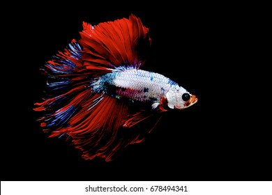 Stunning fancy color of Siamese Fighting Fish (Halfmoon Betta) on a black background.