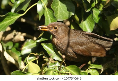 A stunning female Blackbird (Turdus merula) perched on ivy and eating one of the berries which it has in its beak.