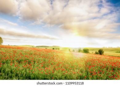 Stunning field of red poppies with a gorgeous morning sunrise in Norfolk England