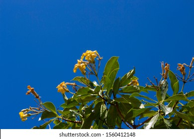 Stunning fragrant flowers of Hymenosporum flavum, or Native Frangipani, a rainforest tree endemic to Australia whose flowers attract bees ,honey-eating birds and butterflies in spring and summer.