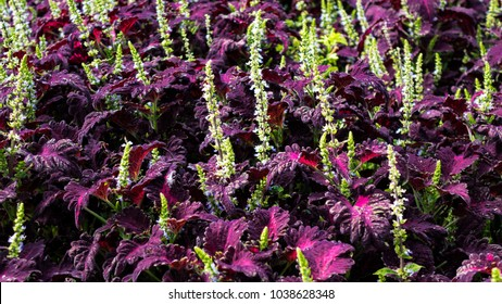 A stunning fragrant punchy flowerbed of colorful  purple flowering Coleus plants