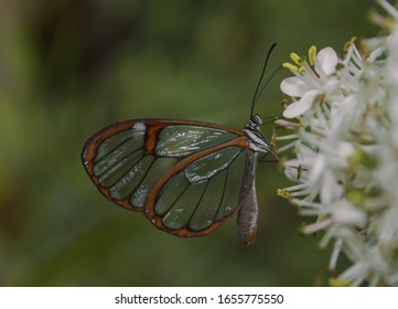 stunning-glasswing-butterfly-greta-oto-2