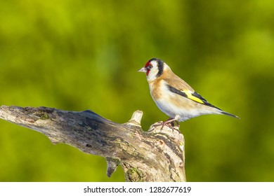 A stunning Goldfinch (Carduelis carduelis) perched on a branch