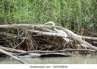 Stunning great white egret wading through the logs along the Mary River riverbank in Kakadu, Australia