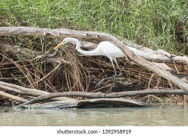 Stunning great white egret wading through the Mary River with wetland flora in Kakadu, Australia
