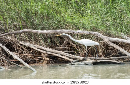 Stunning great white egret wading on the Mary River banks with wetland flora in tropical Kakadu, Australia