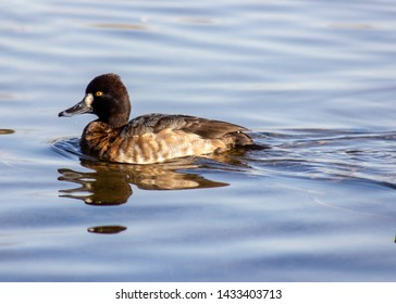 Stunning greater scaup female duck swimming in Burnaby lake, British Columbia, Canada,in Winter. Beautiful brown spotted feathers, grey bill and intense yellow eyes. White patch next to bill