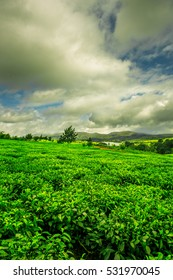 Stunning green landscape of a tea plantation in Malawi, Africa
