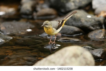 A stunning Grey Wagtail, Motacilla cinerea, standing on a rock in the middle of a river hunting around for insects to eat.
