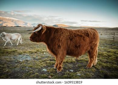 Stunning Highlander on the farm