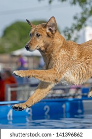 A stunning jumping sporting dog leaps off a dock into a pool during a canine aquatics competition