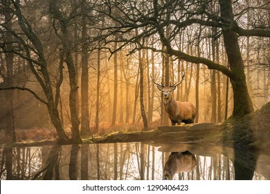 Stunning landscape image of still stream in Lake District forest with beautiful mature Red Deer Stag Cervus Elaphus among trees