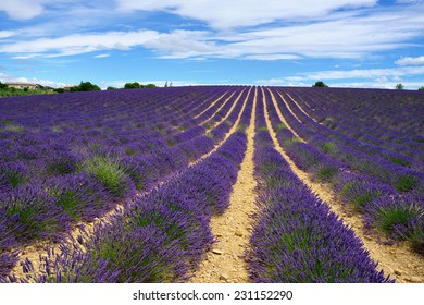Stunning landscape with lavender field. Plateau of Valensole, Provence, France