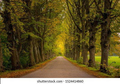 Stunning linden alley of symmetric tree lined road, leaves in autumn colors, Latvia