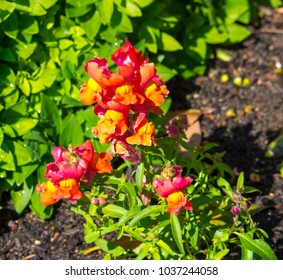 Stunning long lasting flowers of  orange snap dragon Antirrhinum majus  blooming in mid spring add interesting old cottage garden charm to a   front garden   bed .