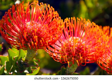 Stunning long lasting yellow orange  flowers of Leucospermum (Pincushion, Pincushion Protea or Leucospermum) Protea species blooming in early spring  attract bees and native birds to the garden.