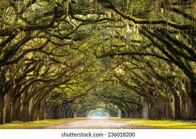 A stunning, long path lined with ancient live oak trees draped in spanish moss in the warm, late afternoon near Savannah, Georgia.