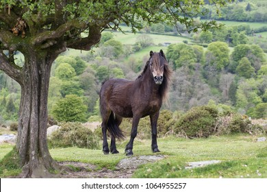 Stunning looking Dartmoor pony on Dartmoor