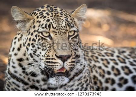 Stunning Looking Male Leopard Looking Away Stock Photo (Edit