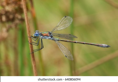 A stunning male Emerald Damselfly (Lestes sponsa) perched on the stem of a reed.